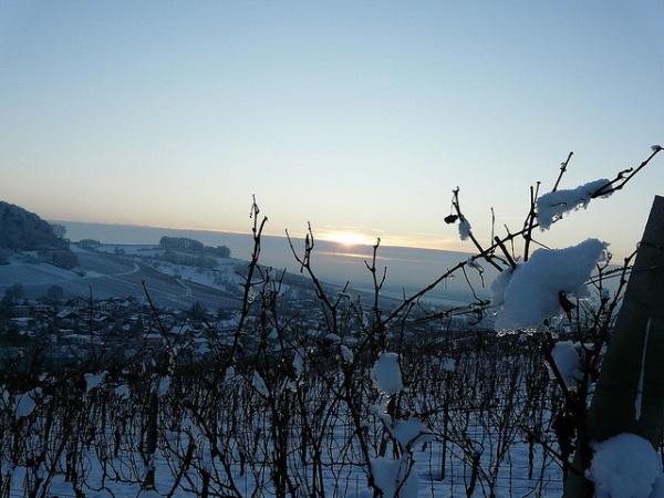 """Знаменитое \""""ледяное вино\"""" айсвайн (eiswein) делают из подмороженного винограда"""