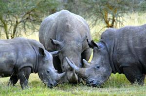 Білого носорога хочуть врятувати