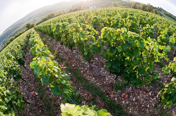 Зачастую у одного поместья может быть до 80 владельцев. В Бургундии виноградники называют Клима